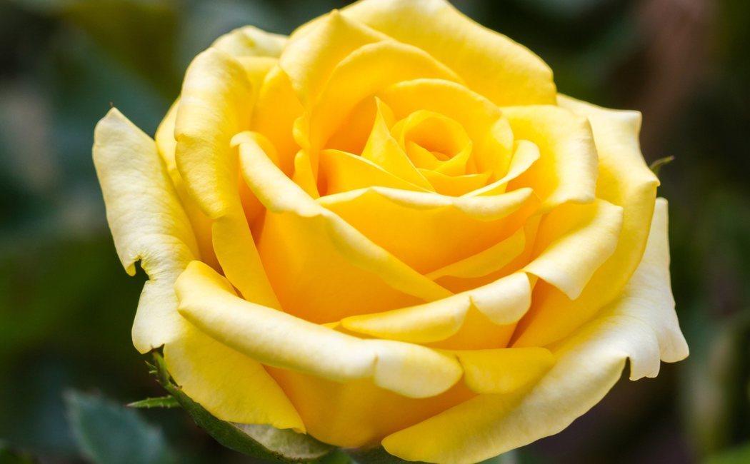 Rosa: tipos, características y cuidados