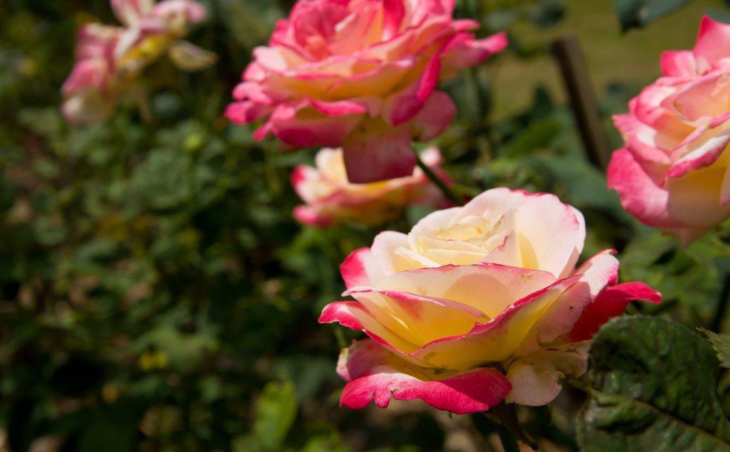 Tipos de rosas