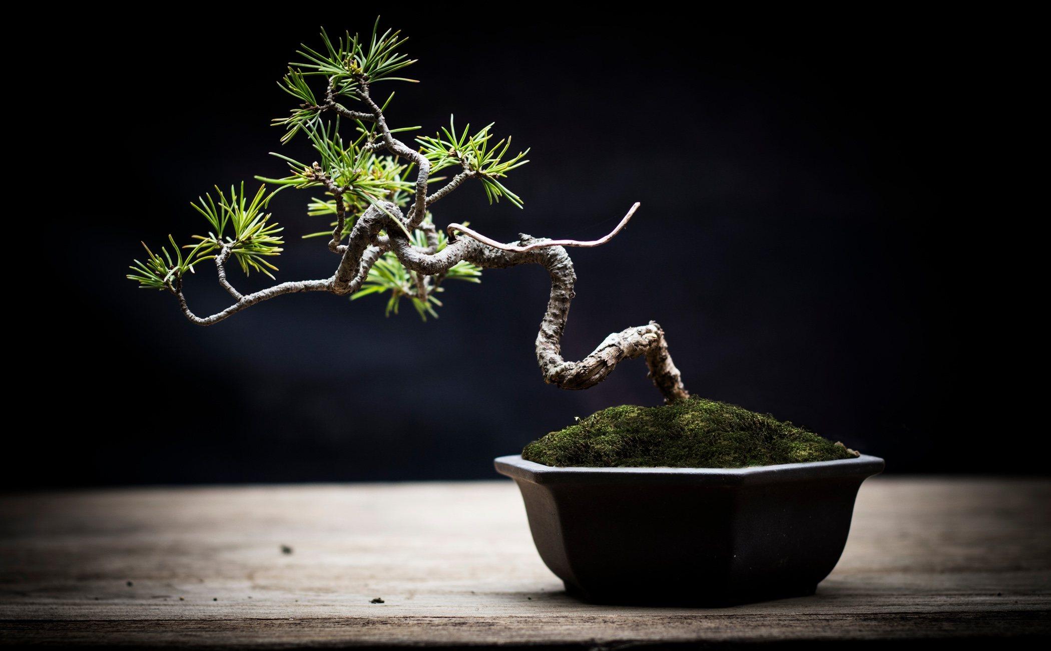 Cuidados De Un Bonsai Para Principiantes Etereo Garden