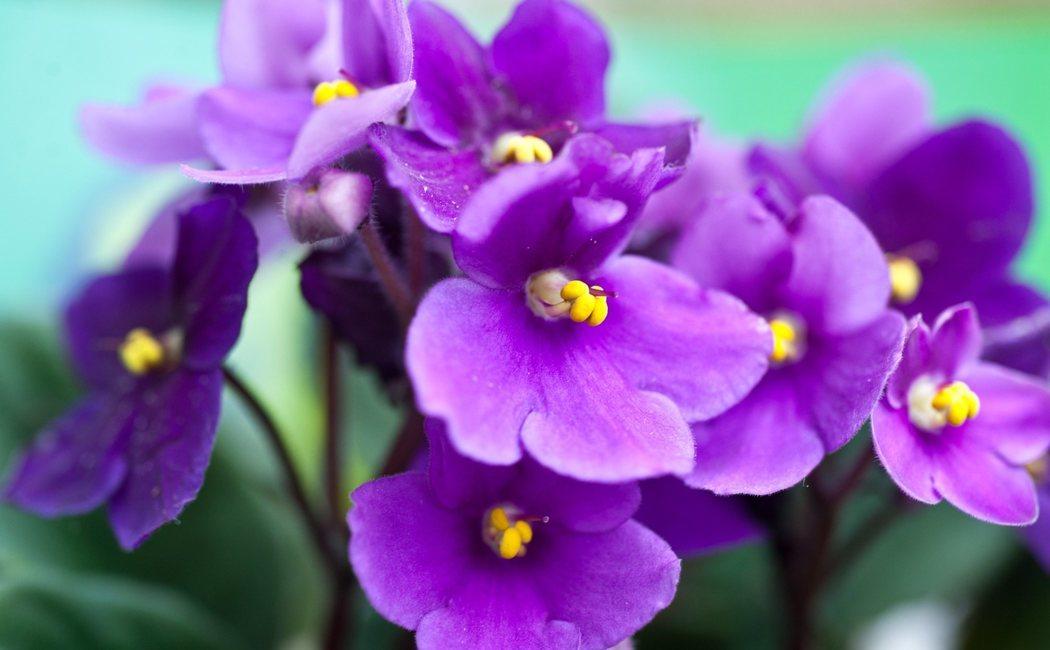 Todo lo que necesitas saber de la Violeta africana