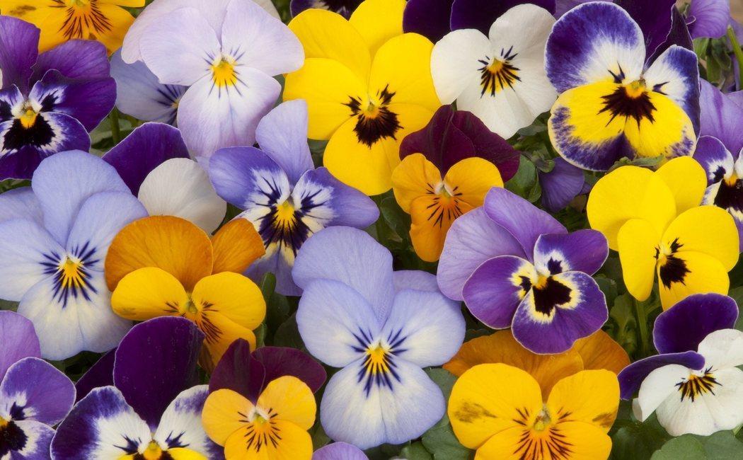 Pensamiento: todo sobre esta flor