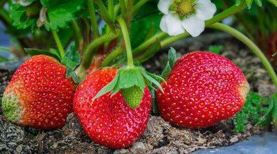 Cuándo plantar fresas