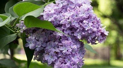 Cómo cuidar lilas en tu jardín: descúbrelo todo sobre esta planta de potente aroma