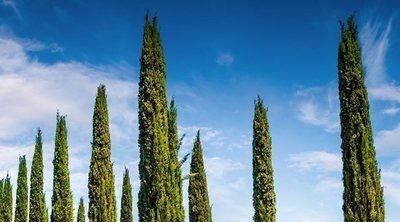 El ciprés más allá de los cementerios