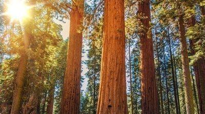 Los árboles más grandes del mundo
