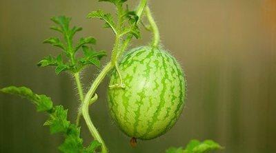 Plantar sandías en macetas