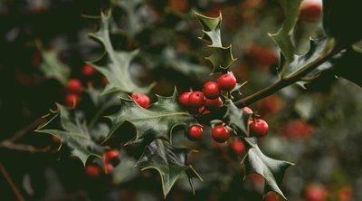El acebo, un símbolo de la Navidad
