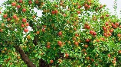 Qué es la vecería en los árboles frutales
